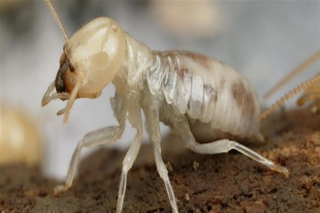 شركة مكافحة النمل الأبيض الرمة بعجمان